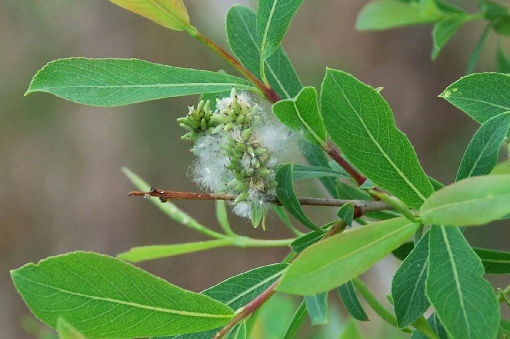 Salix purpurea subsp. purpurea 7