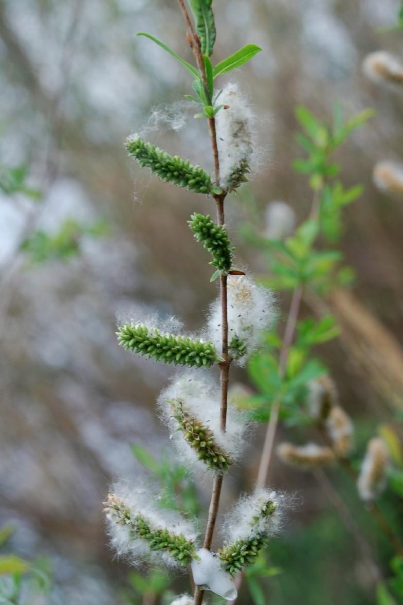 Salix purpurea subsp. purpurea 8