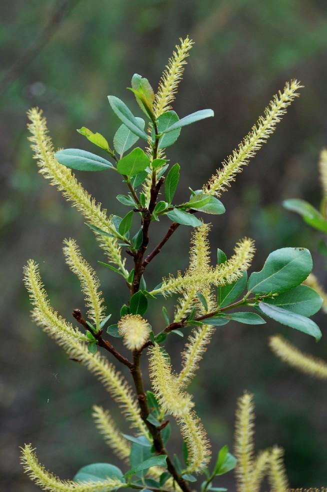 Salix triandra subsp. discolor