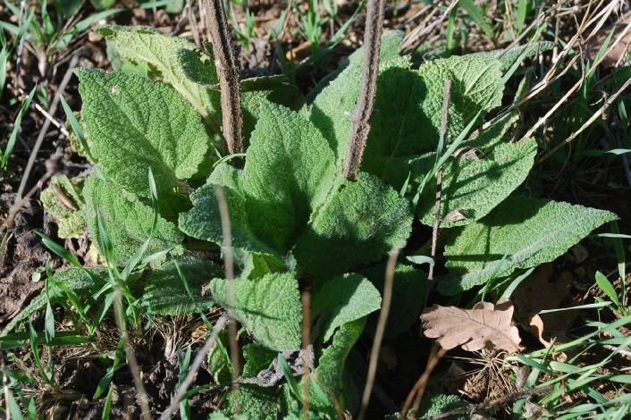 Salvia sclarea 4