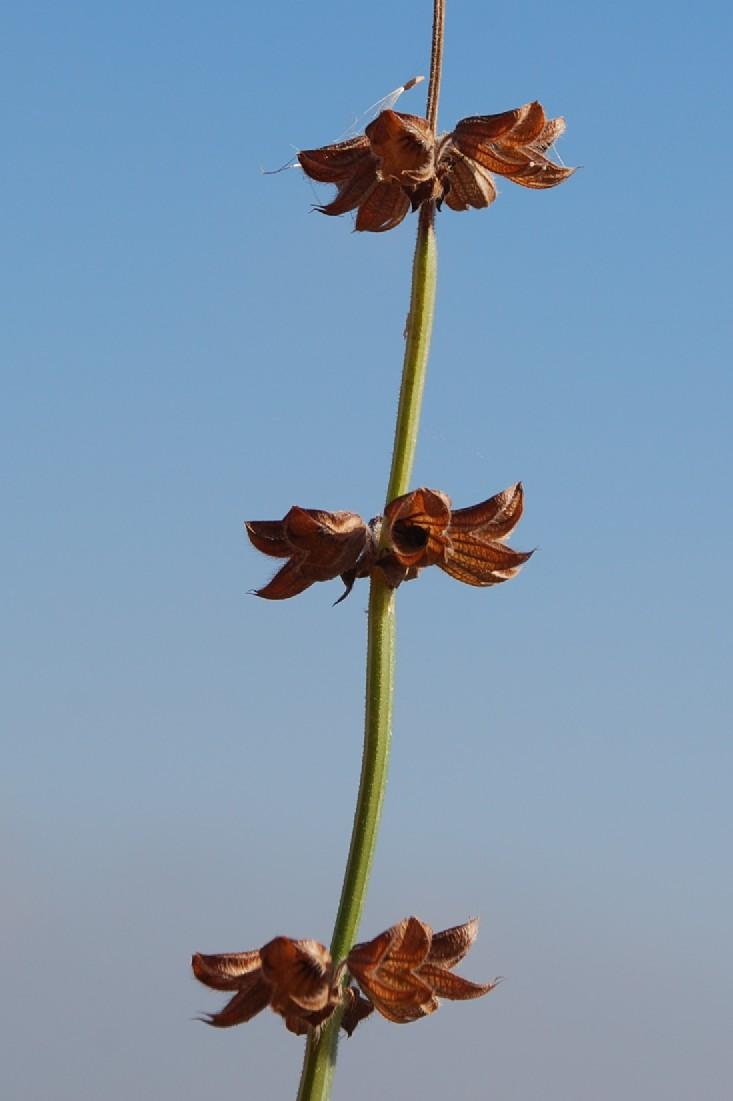 Salvia verbenaca 11