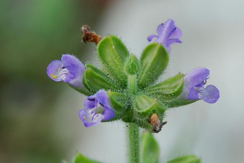 Salvia verbenaca 4