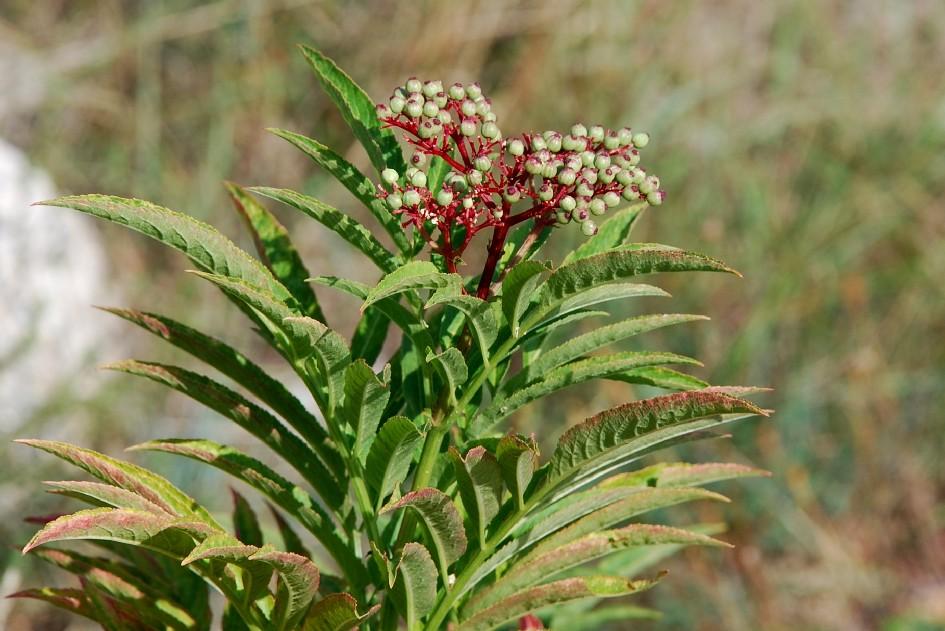 Sambucus ebulus 21