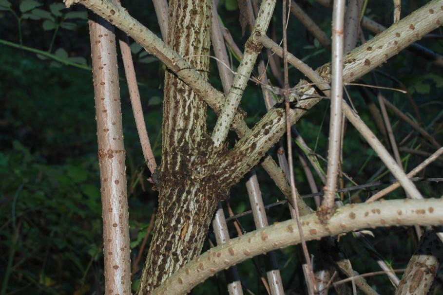Sambucus nigra 10