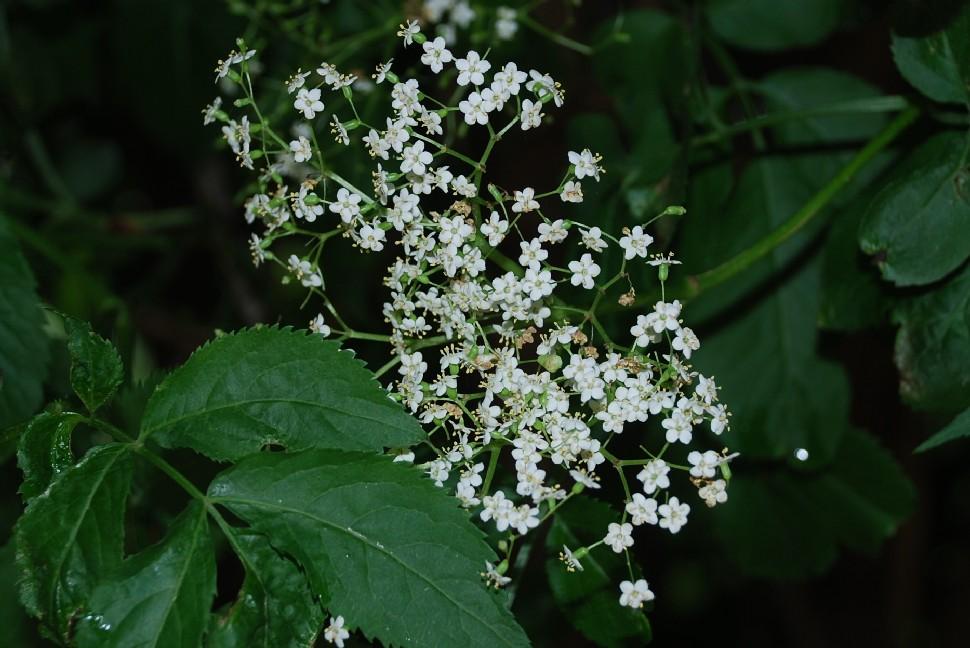 Sambucus nigra 7
