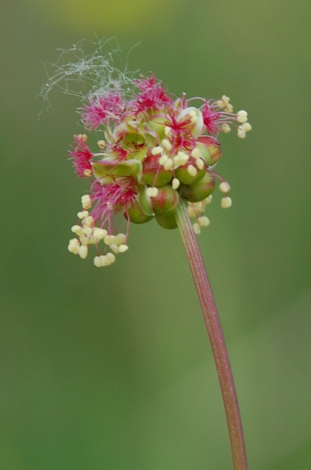Sanguisorba minor subsp. muricata 9