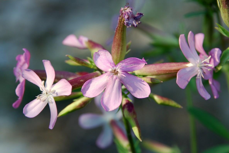 Saponaria officinalis 4