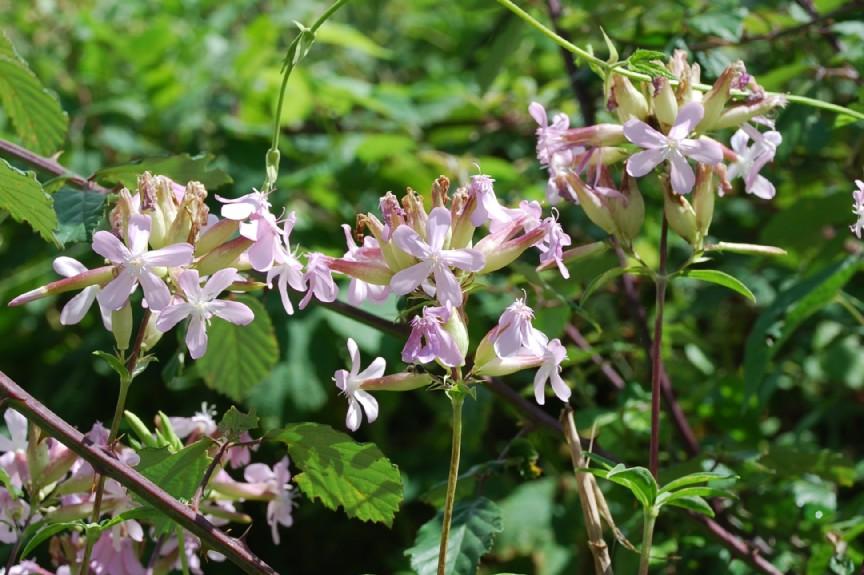 Saponaria officinalis 9