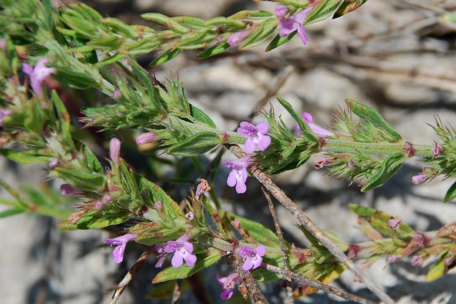 Satureja graeca subsp. graeca 11