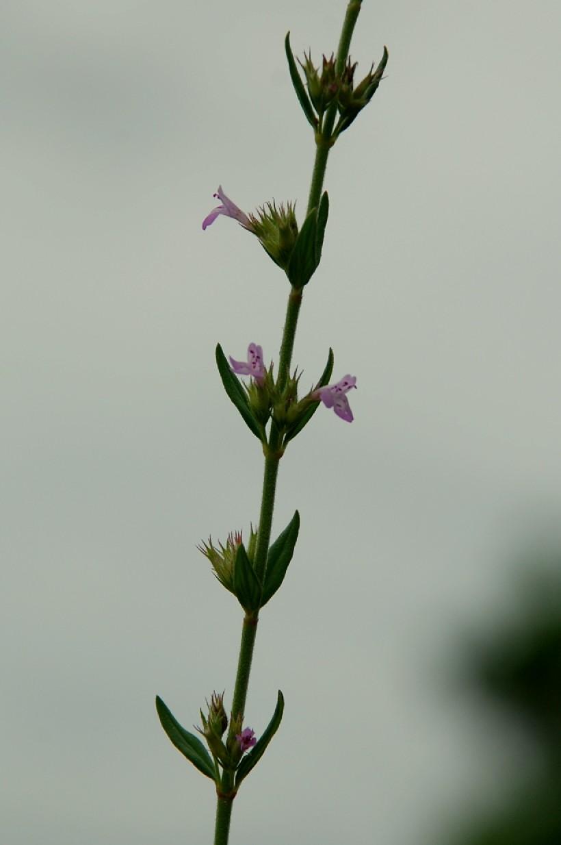 Satureja graeca subsp. graeca 15