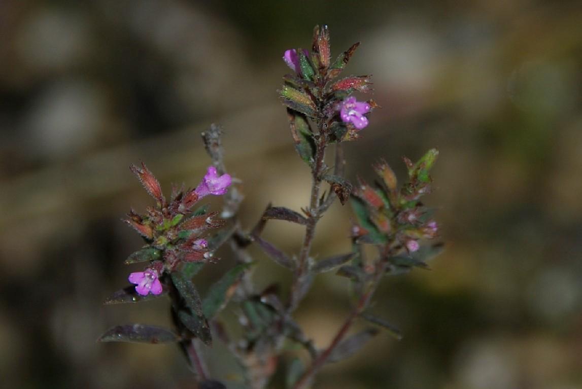 Satureja graeca subsp. graeca 17