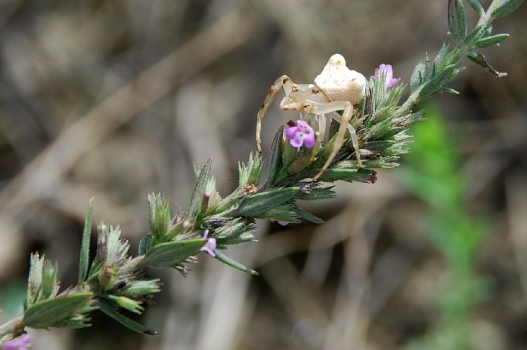 Satureja graeca subsp. graeca 5