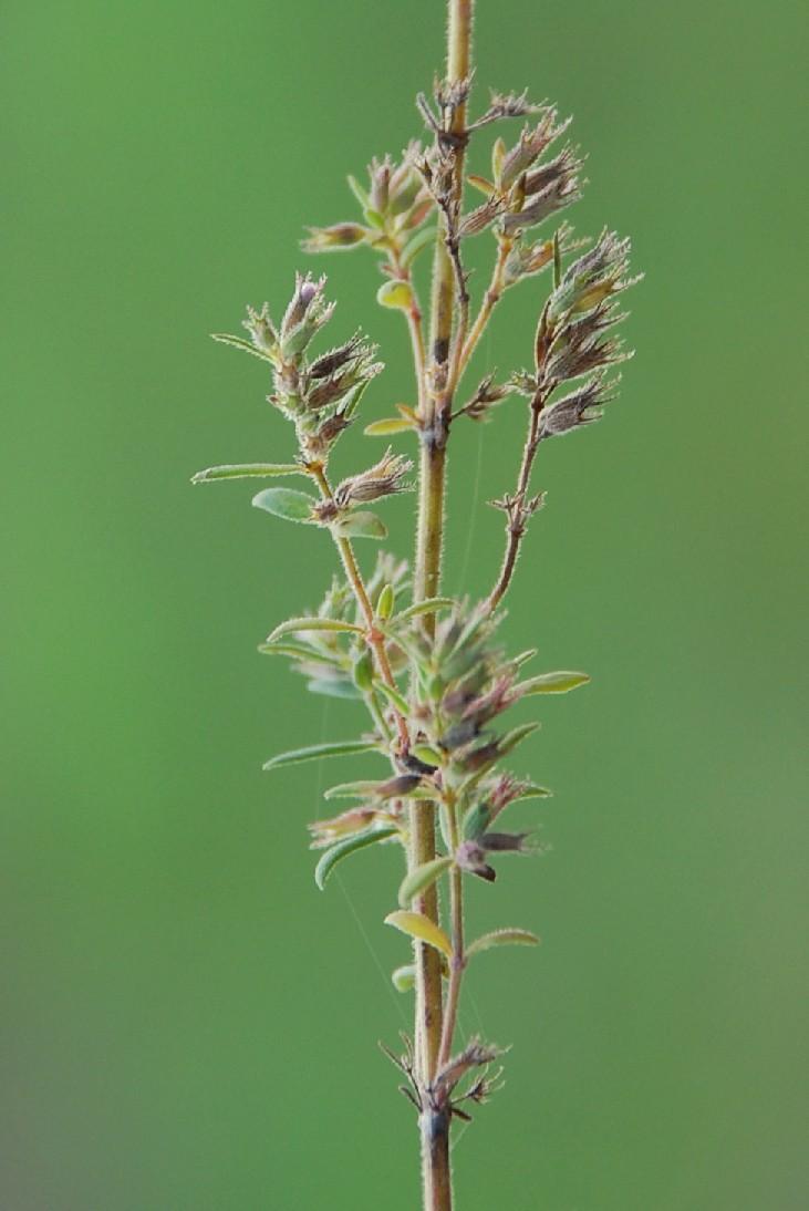 Satureja graeca subsp. graeca 8