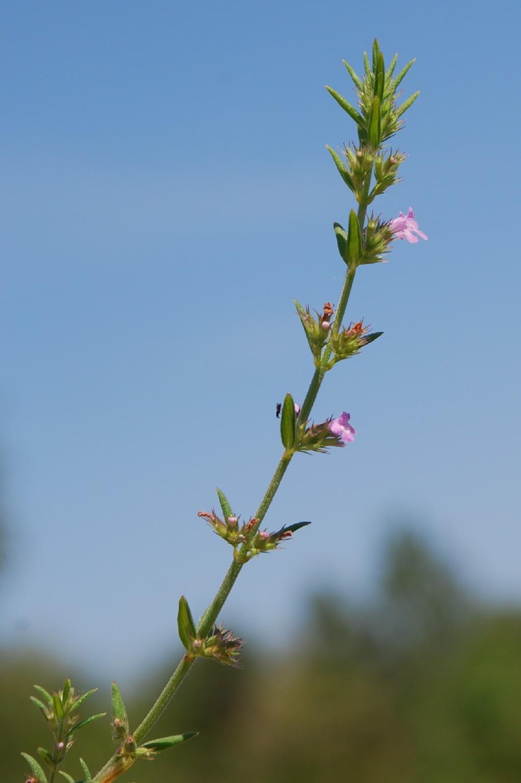 Satureja graeca subsp. graeca 9