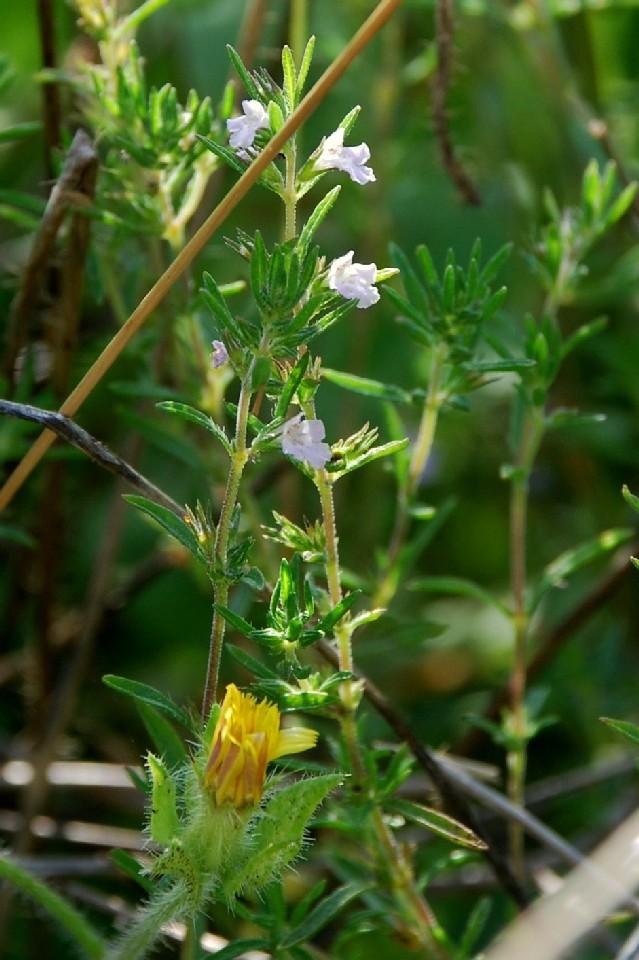 Satureja hortensis 4