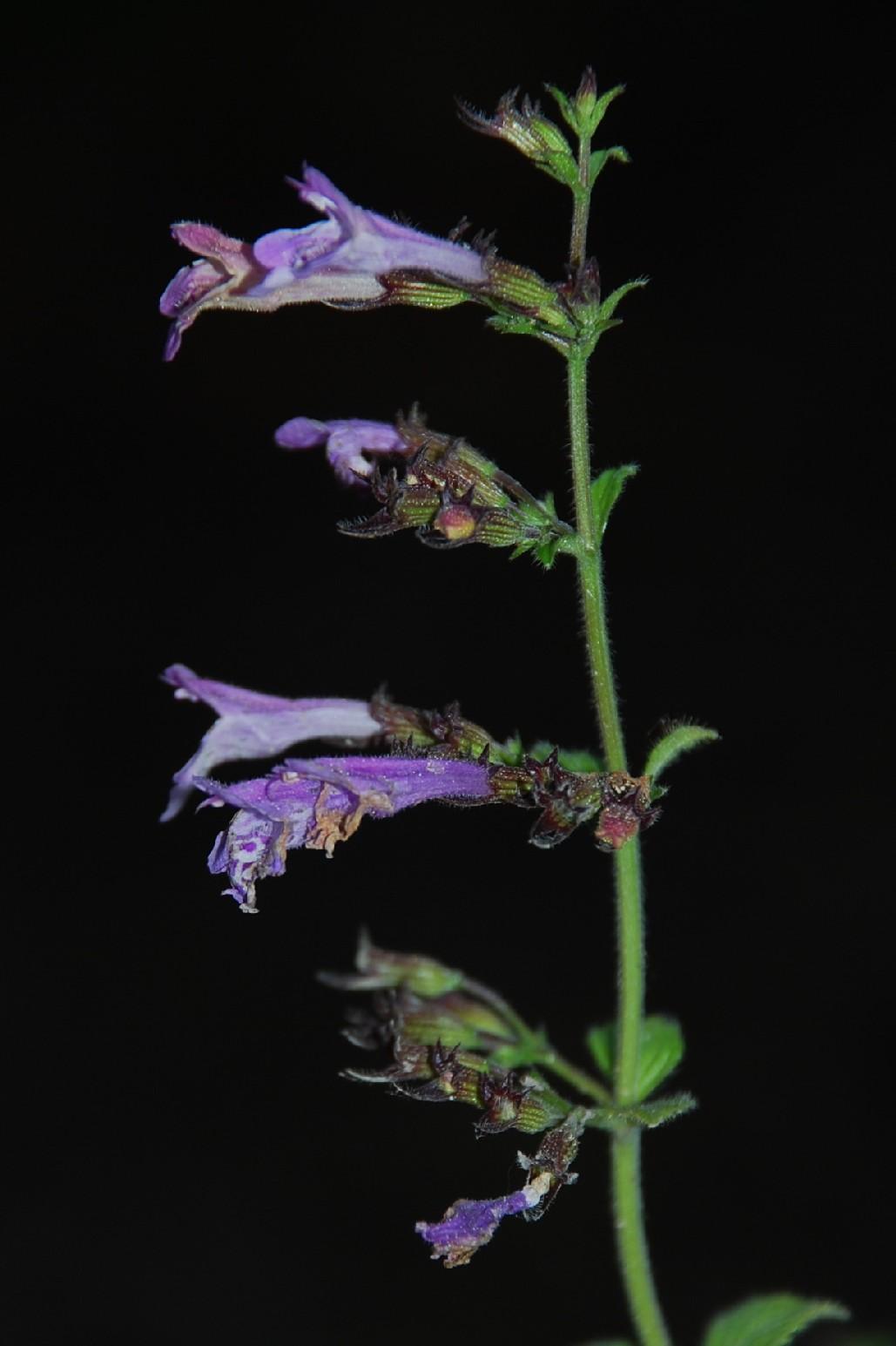 Satureja menthifolia 10