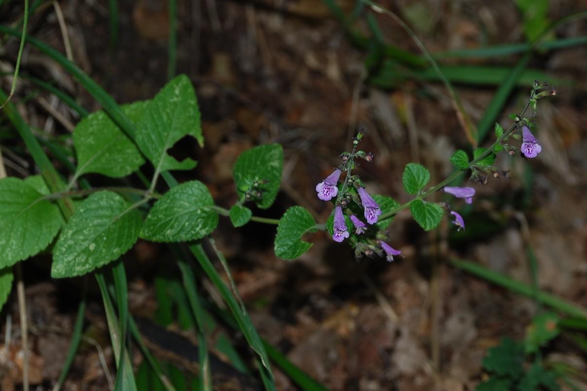 Clinopodium nepeta subsp. sylvaticum