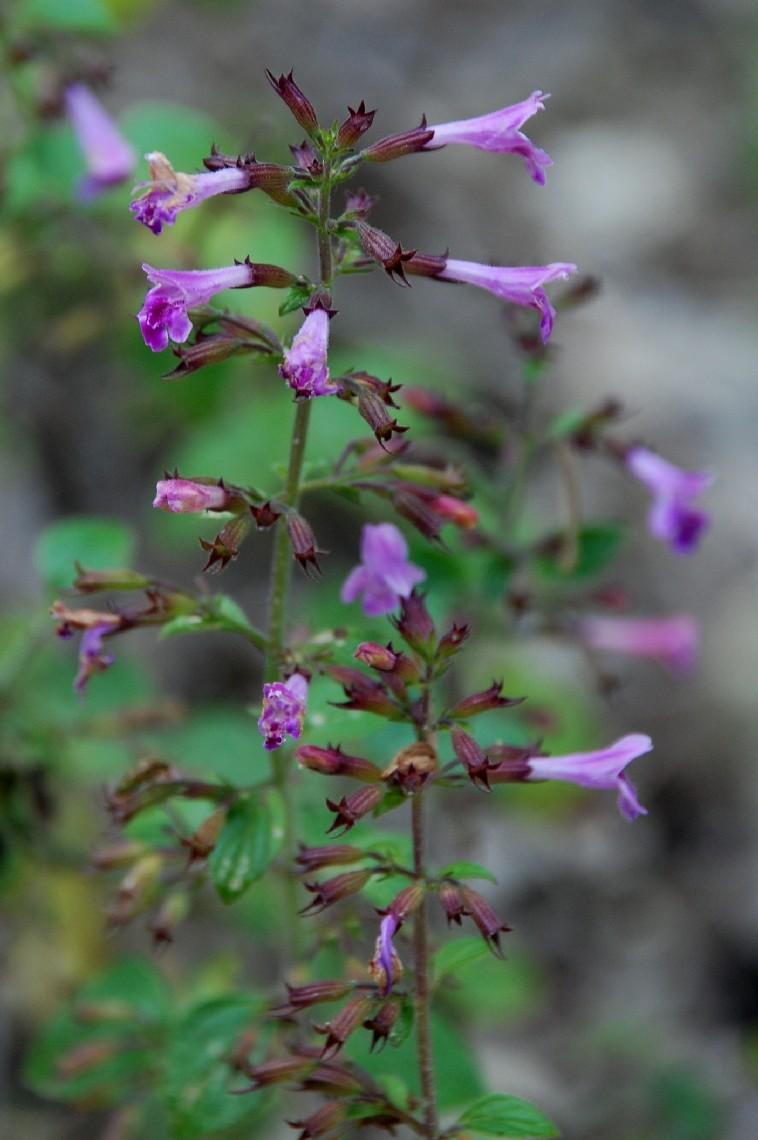 Satureja menthifolia 12