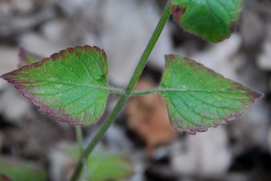 Satureja menthifolia 14