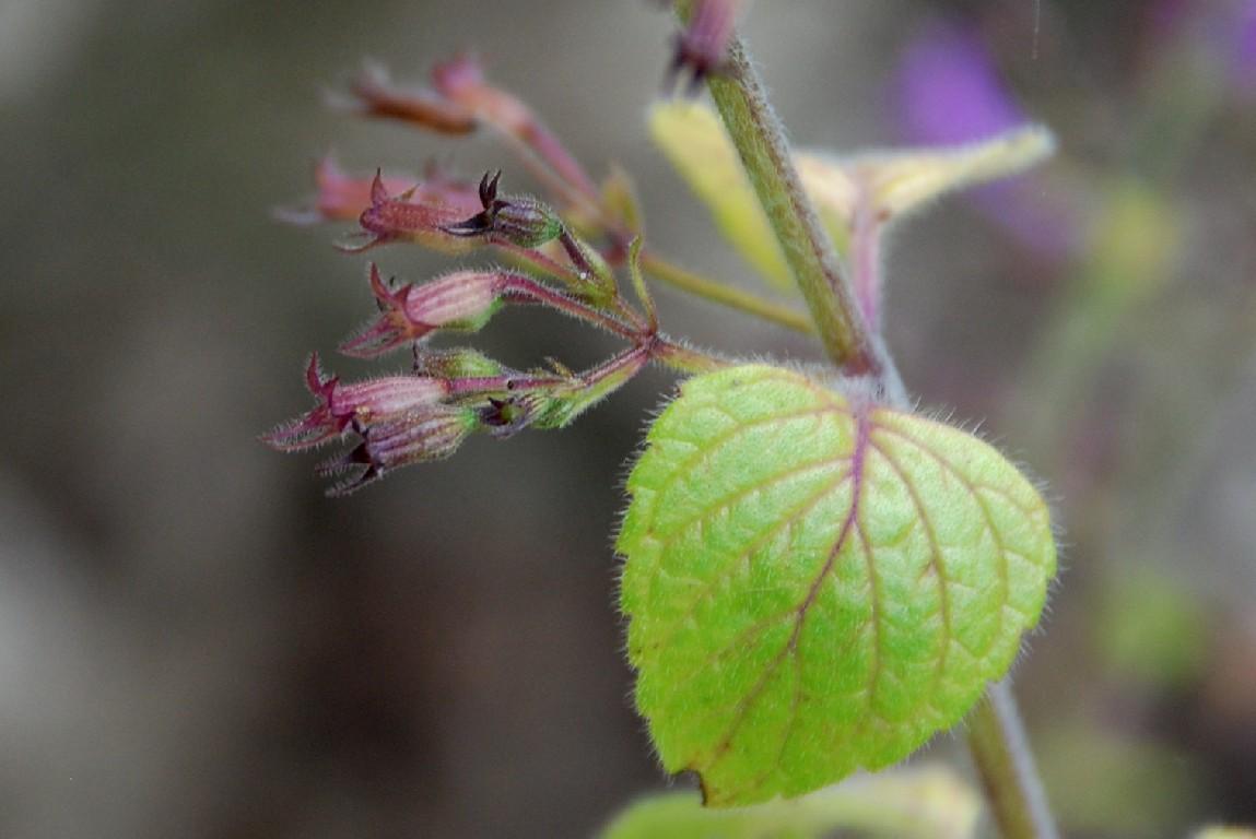 Satureja menthifolia 15