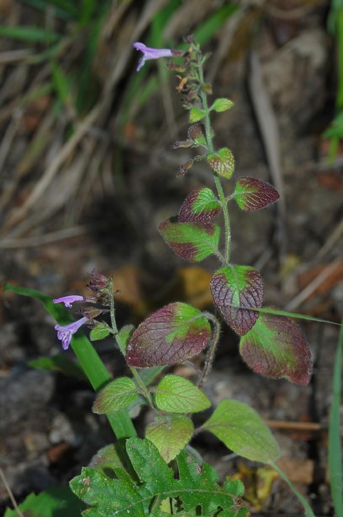 Satureja menthifolia 17