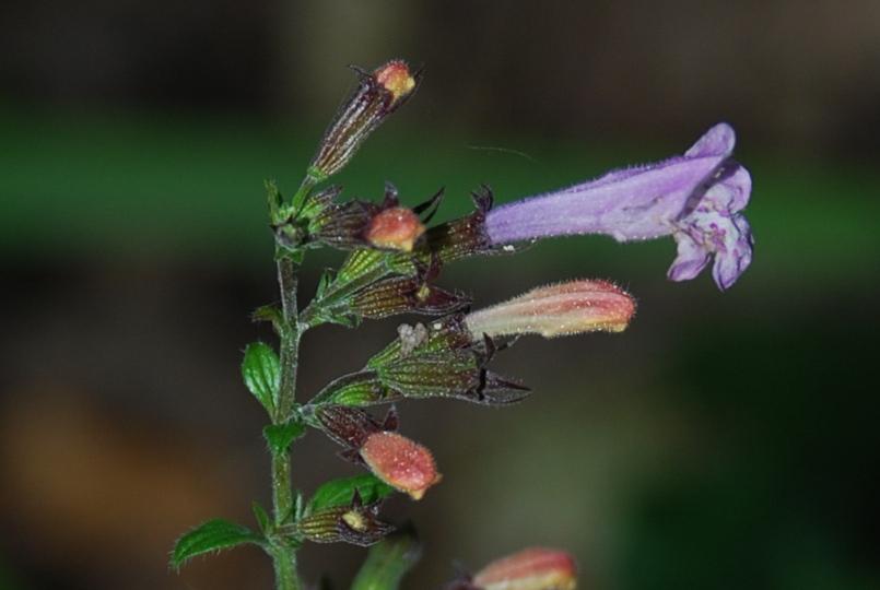 Satureja menthifolia 18