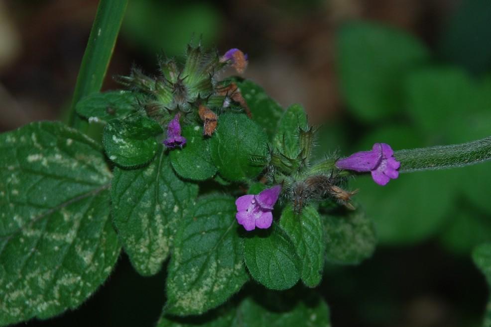 Satureja menthifolia 20