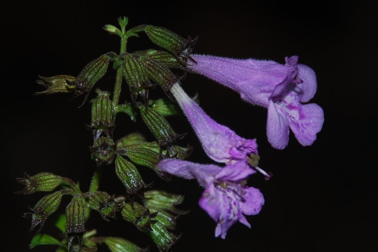 Satureja menthifolia 22