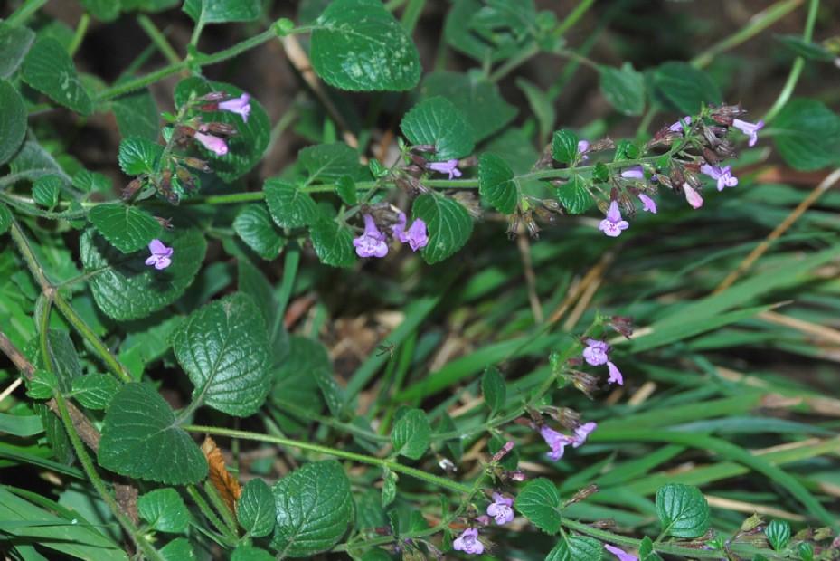 Satureja menthifolia 24