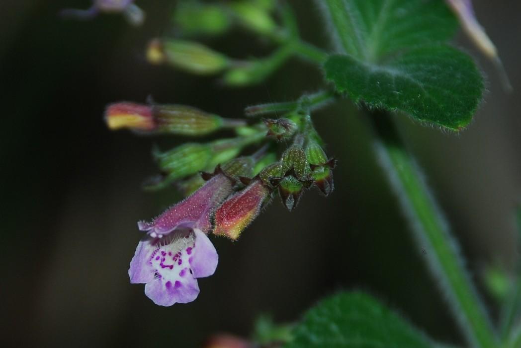 Satureja menthifolia 3
