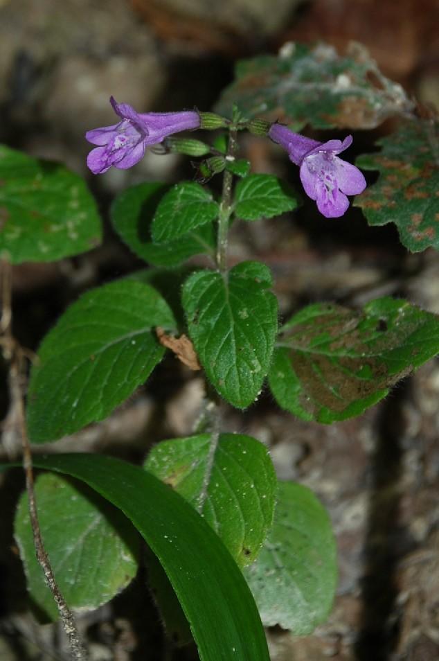 Satureja menthifolia 8