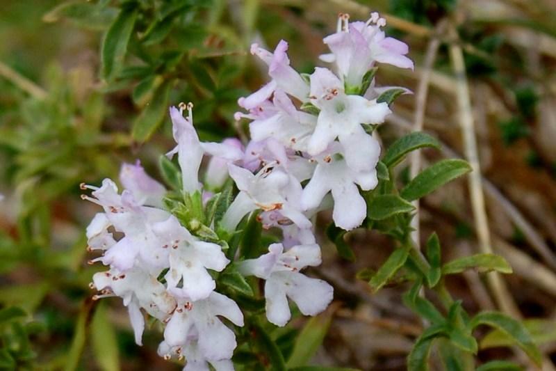 Satureja montana subsp. montana