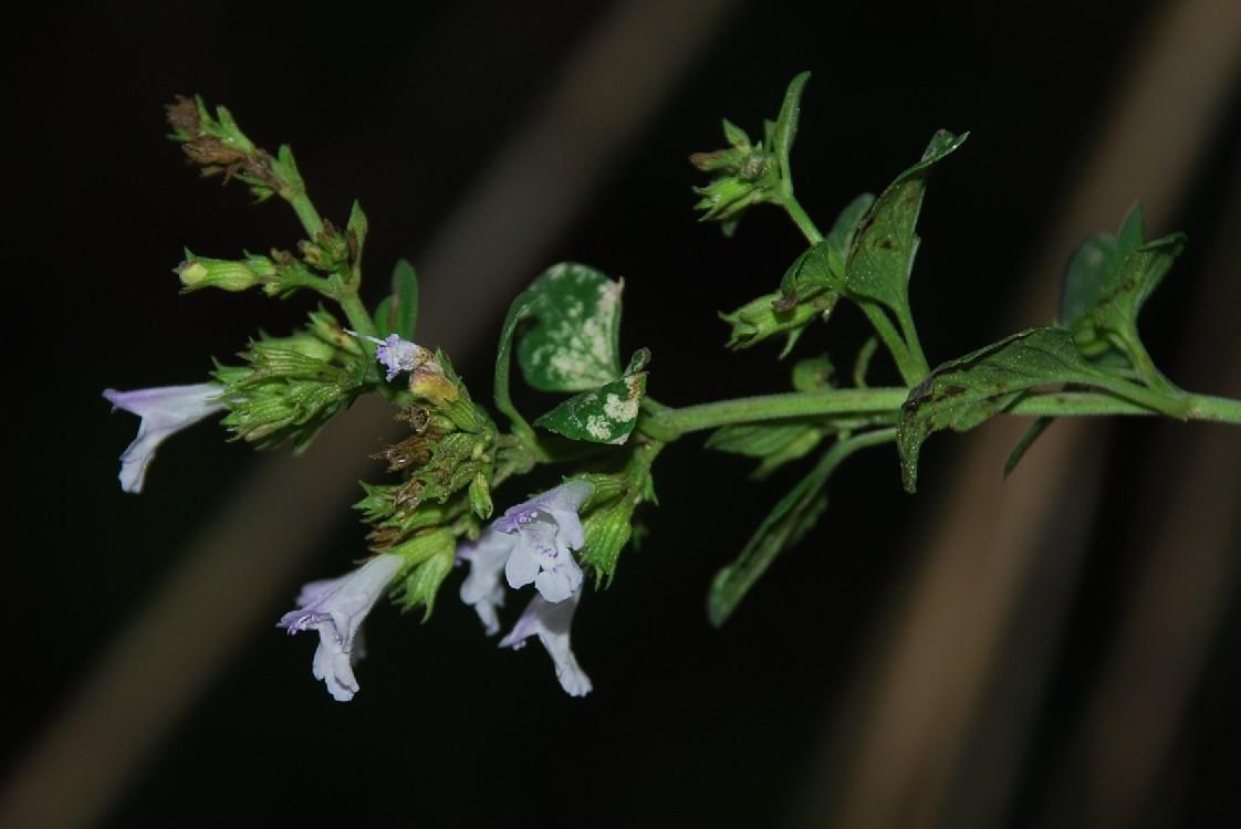 Clinopodium nepeta subsp. nepeta