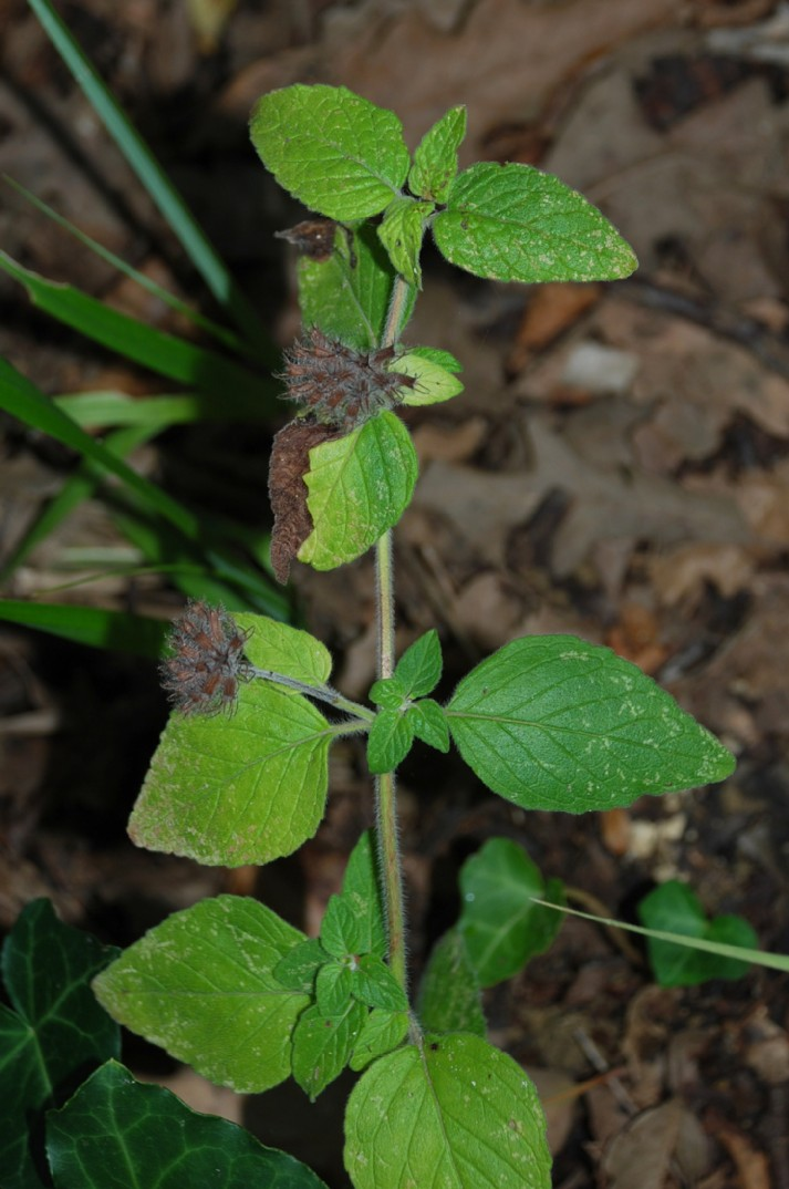 Satureja vulgaris subsp. vulgaris 10