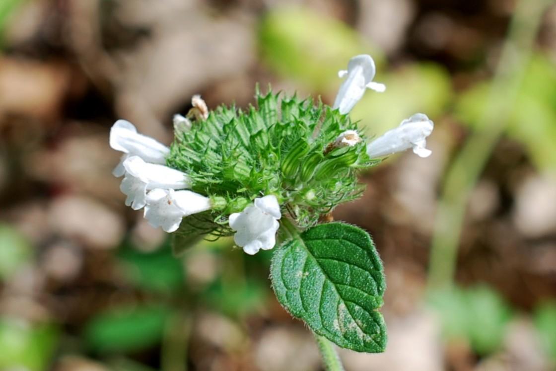Satureja vulgaris subsp. vulgaris 17