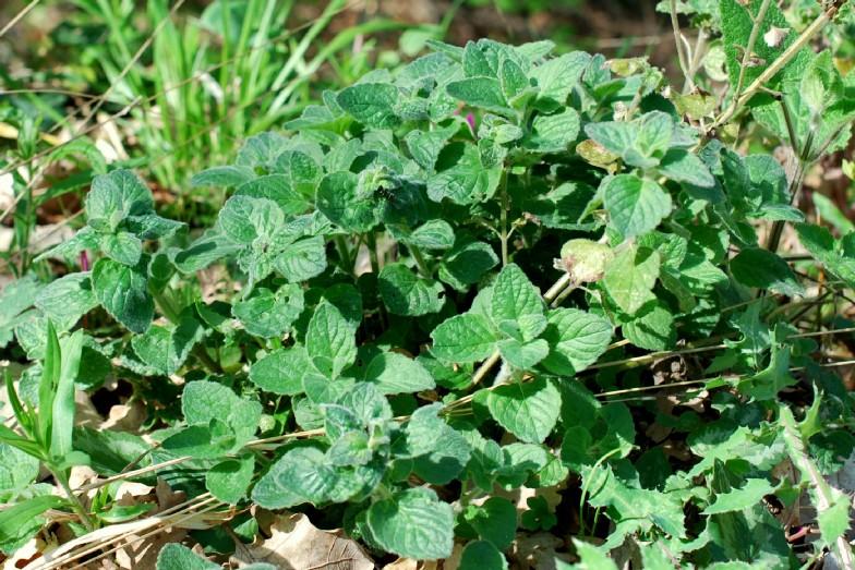 Satureja vulgaris subsp. vulgaris 18