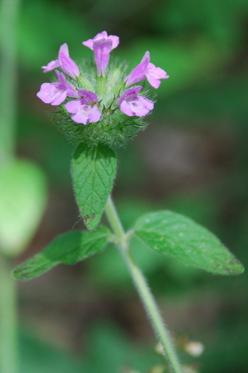 Satureja vulgaris subsp. vulgaris 8