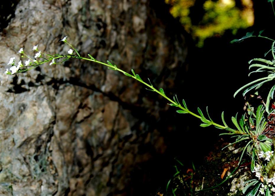 Saxifraga callosa subsp. callosa