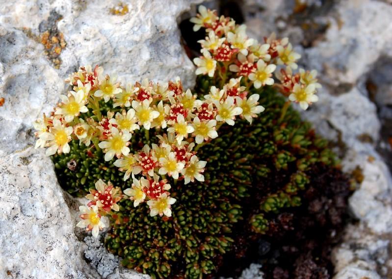 Saxifraga exarata subsp. ampullacea