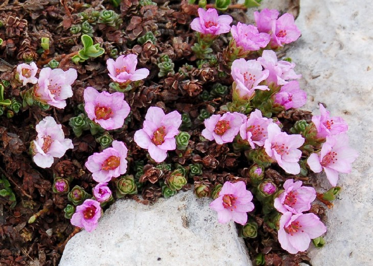 Saxifraga oppositifolia subsp. oppositifolia
