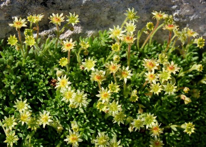 Saxifraga sedoides subsp. sedoides