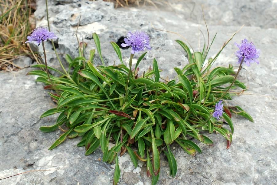 Scabiosa silenifolia