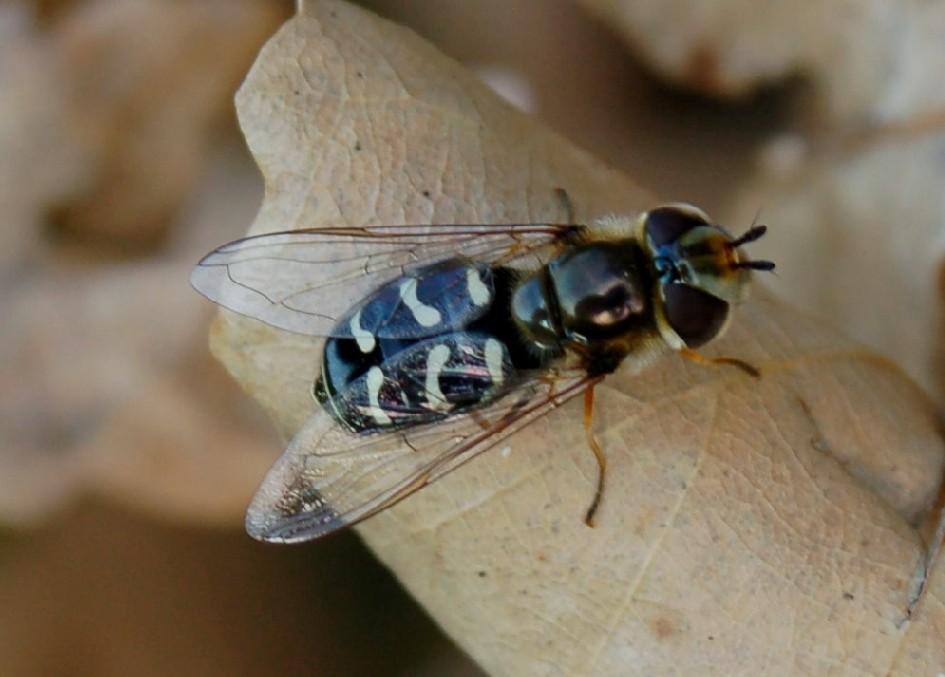 Scaeva pyrastri - Syrphidae