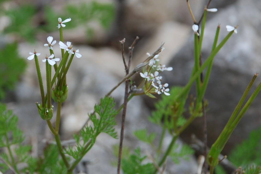 Scandix pecten-veneris subsp. pecten-veneris 14