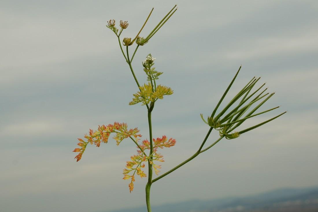 Scandix pecten-veneris subsp. pecten-veneris 15