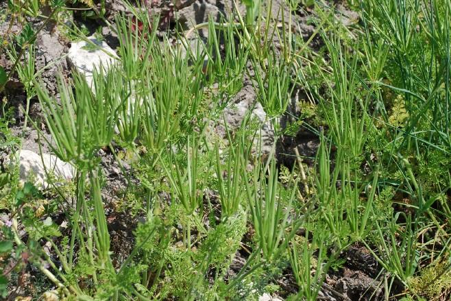 Scandix pecten-veneris subsp. pecten-veneris 18