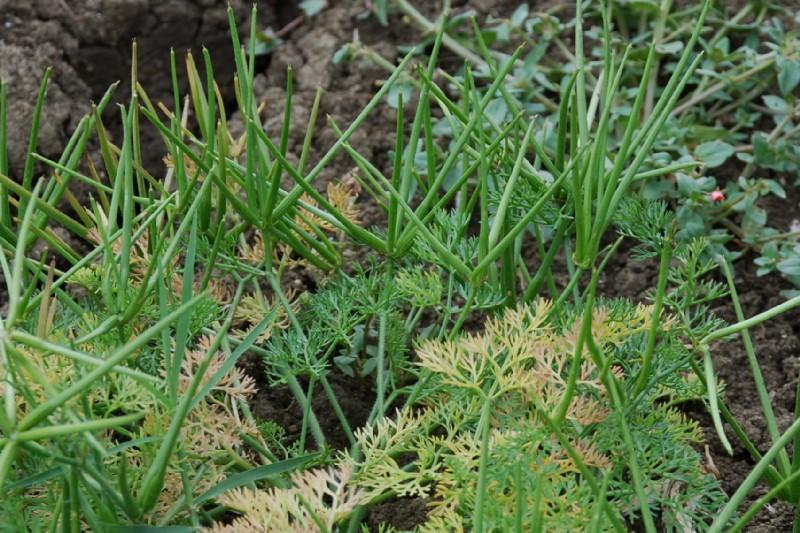 Scandix pecten-veneris subsp. pecten-veneris 20