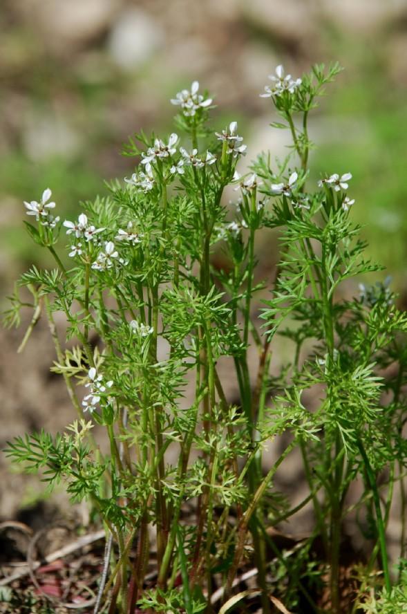 Scandix pecten-veneris subsp. pecten-veneris 5