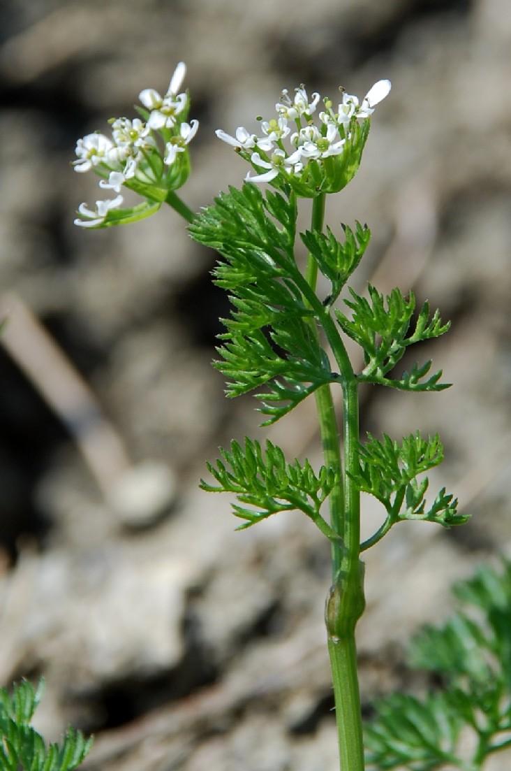 Scandix pecten-veneris subsp. pecten-veneris 7