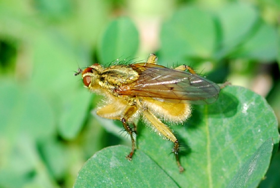 Scathophaga stercoraria - Scathophagidae
